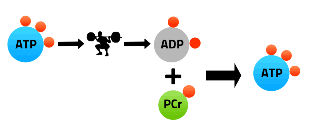 Image of ATP Phosphocreatine Cycle